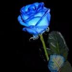rosebleue